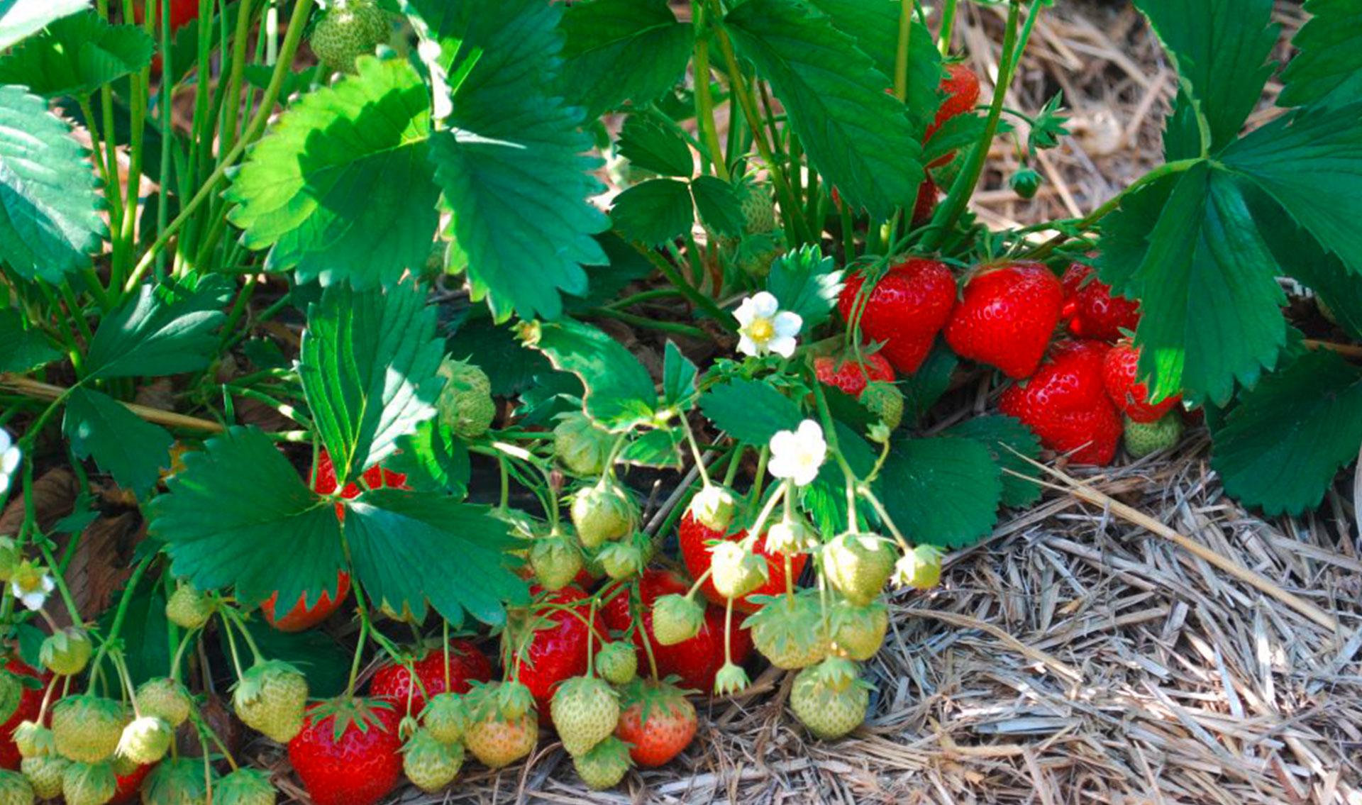 Böckmann Erdbeeren